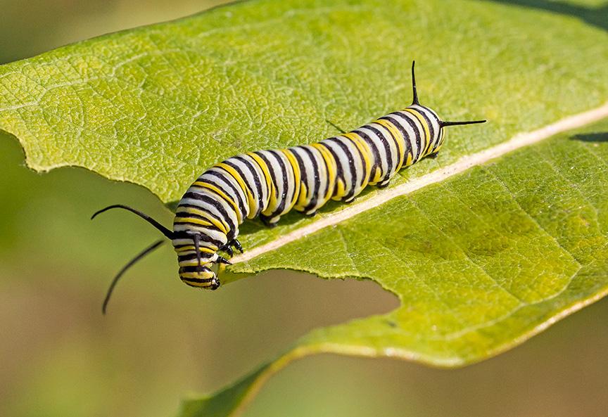 monarch-catepillar-v2-2img-stk-v1-davidsons-mill-2916