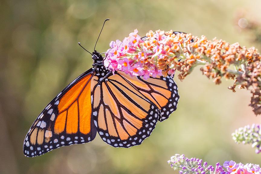 monarch-v2-davidsons-mill-2016_43g6987