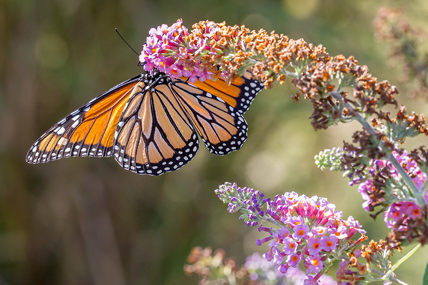 monarch-v3-davidsons-mill-2016_43g6953
