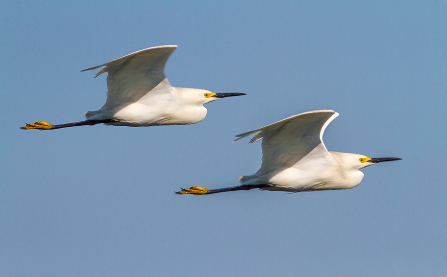 snowy-egrets-brig-2016-v4-2013