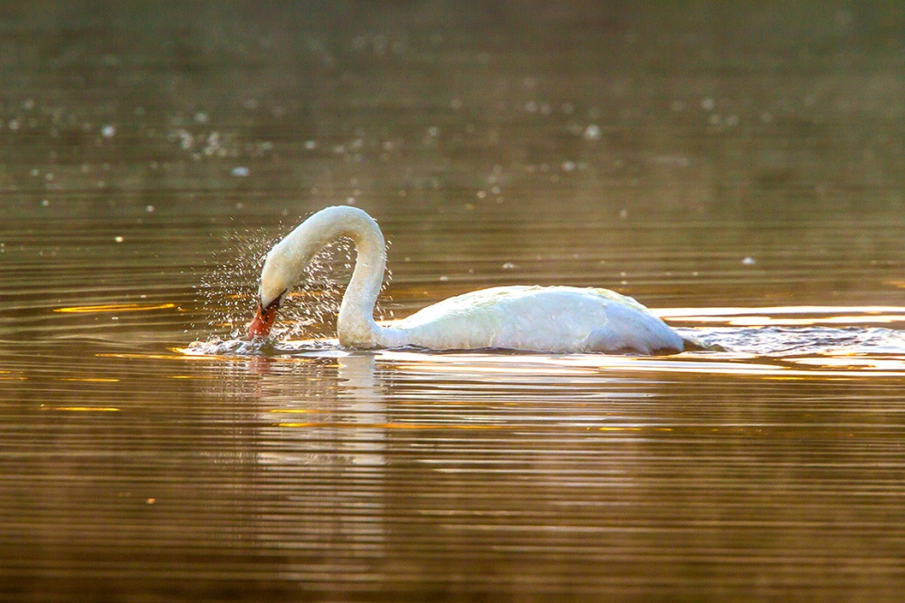 swan-cf-v1_mg_0018