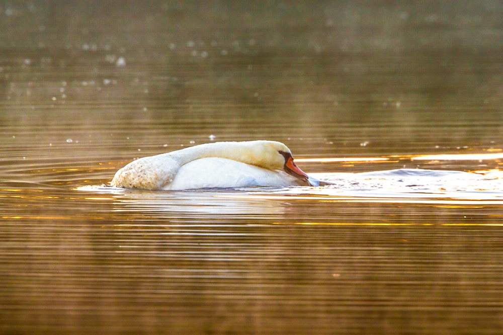 swan-cf-v2_mg_0017