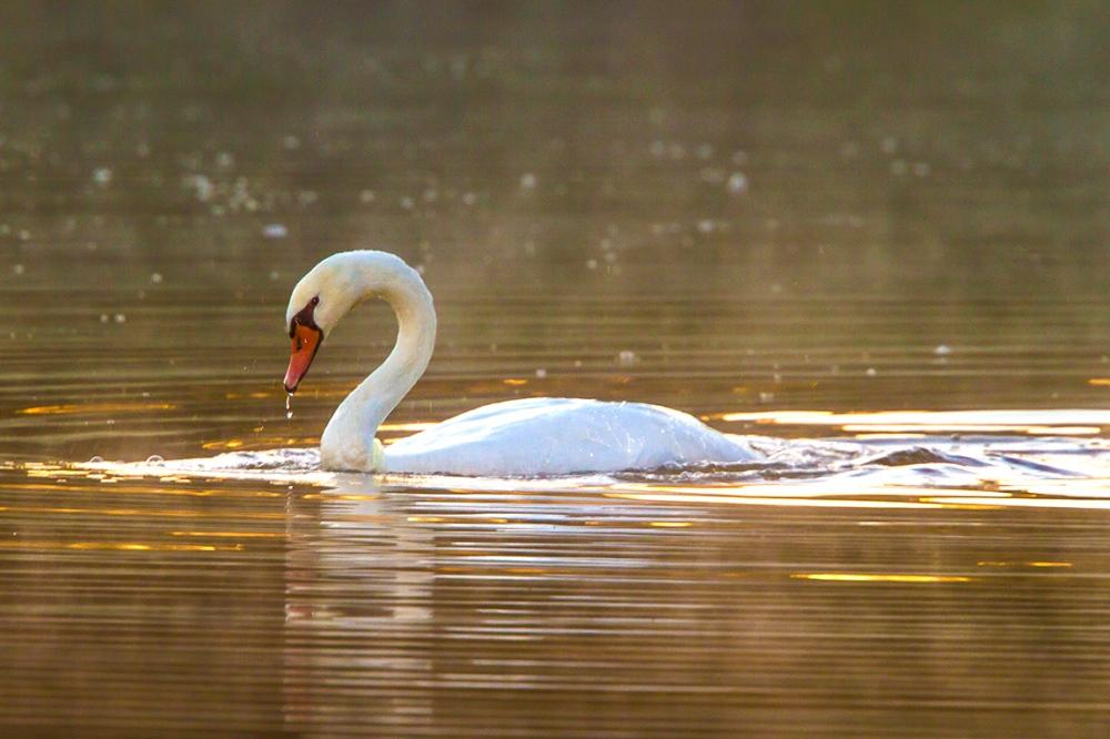 swan-cf-v2_mg_0019