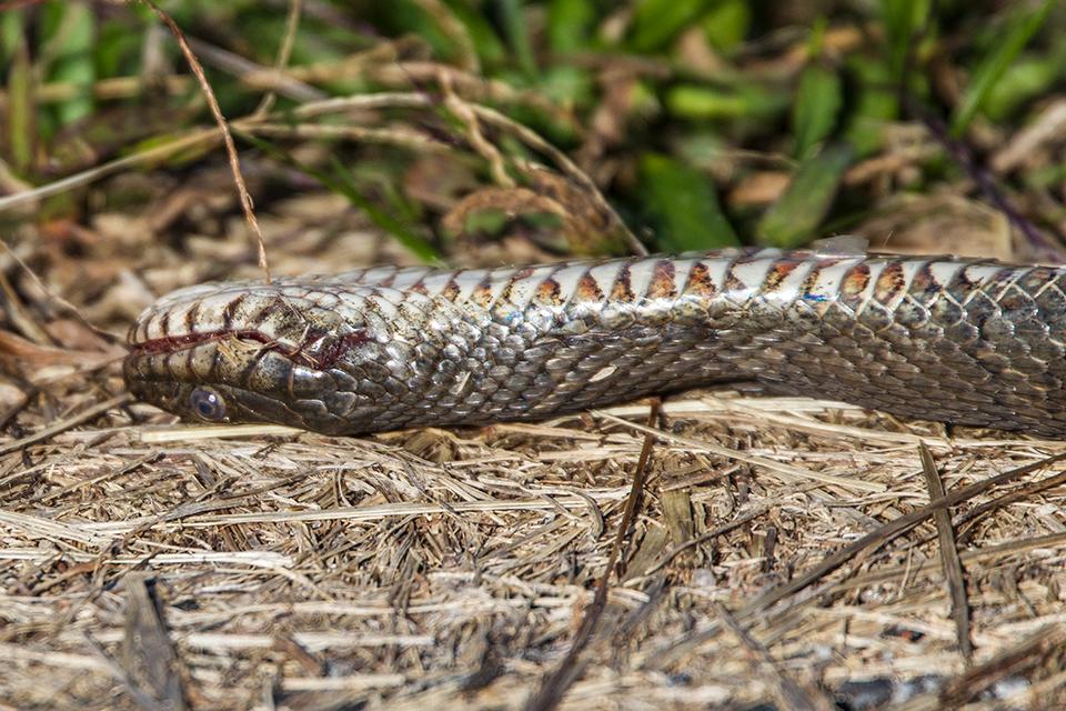 snake-v1_43g7749