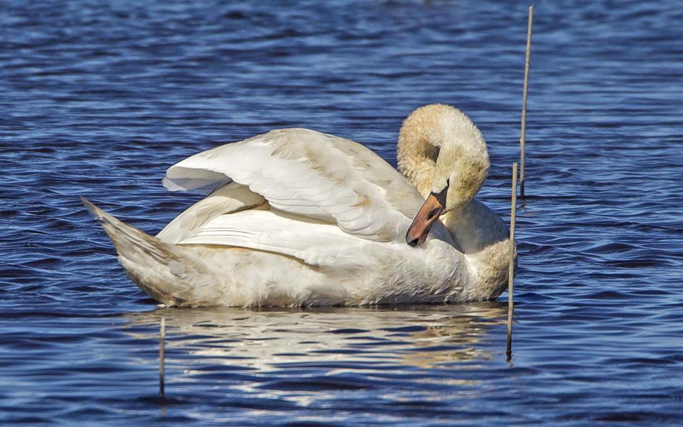 _43g5166-brig-swans-v3