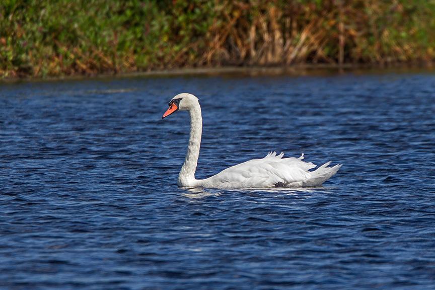 _43g6307-brig-mute-swan-v3