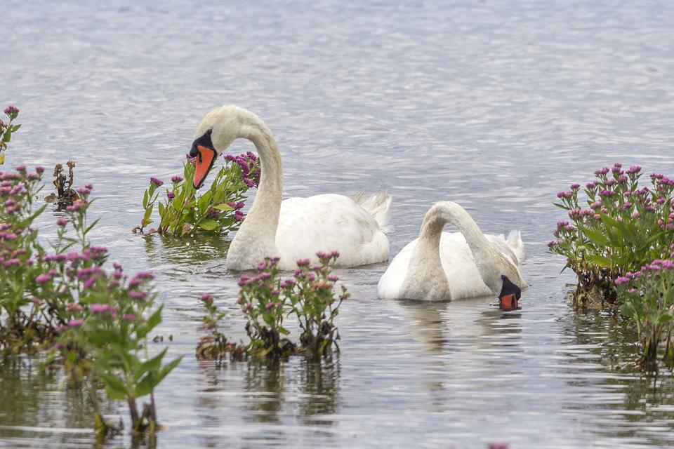_43g7647-brig-mute-swan-v7