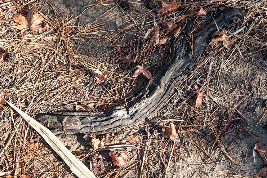 bwr-tt-roots-pine-needles-v2-11-16_mal8822
