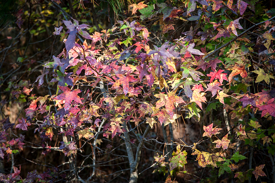 bwr-tt-sweetgum-leaves-v2-_mal8878