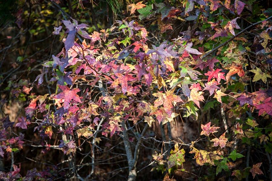 bwr-tt-sweetgum-leaves-v2-_mal8878