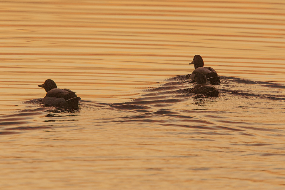 ducks-bwr-sunset-v2_80i7655