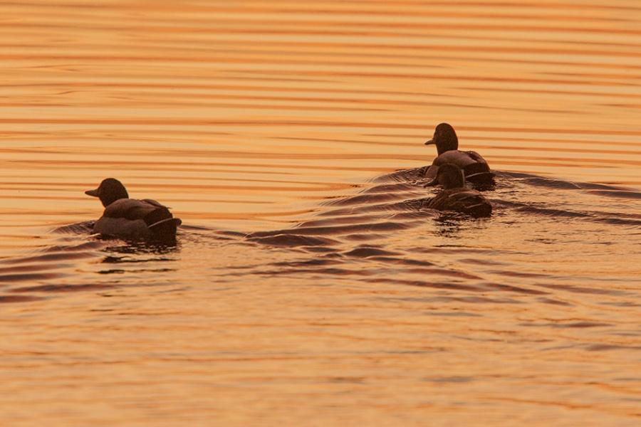 ducks-bwr-sunset-v2_80i7655