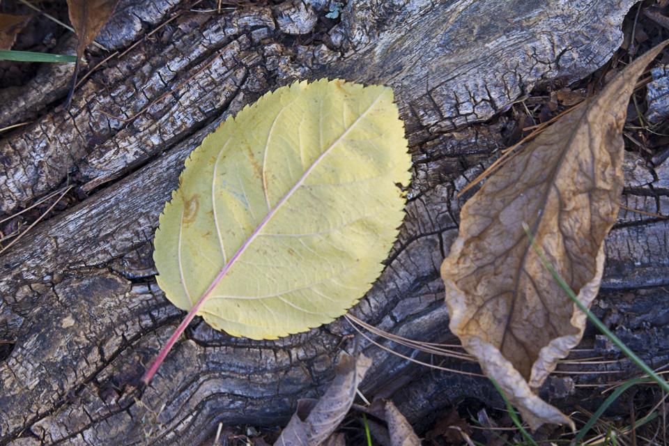 fall-leaves-v1_43g9861