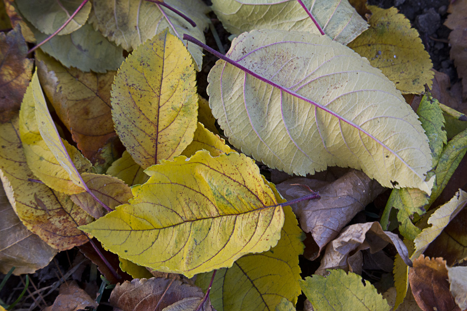 fall-leaves_43g9806