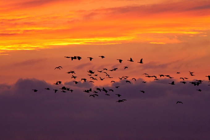 flyout-canada-geese-flyout-v1-bwr_80i7764
