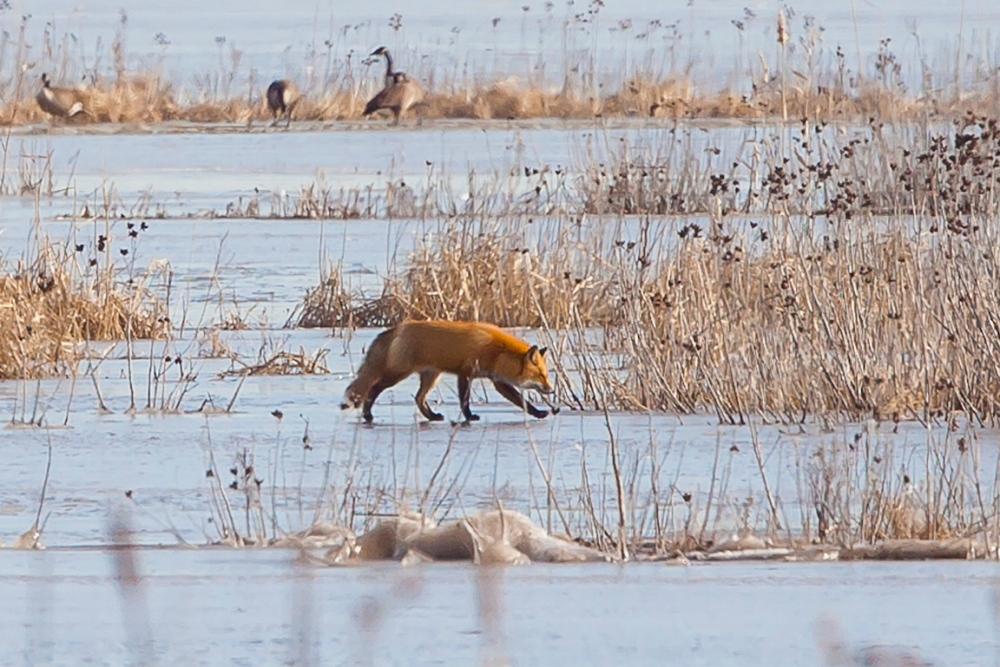 fox-on-ice-brig-v1_80i3007