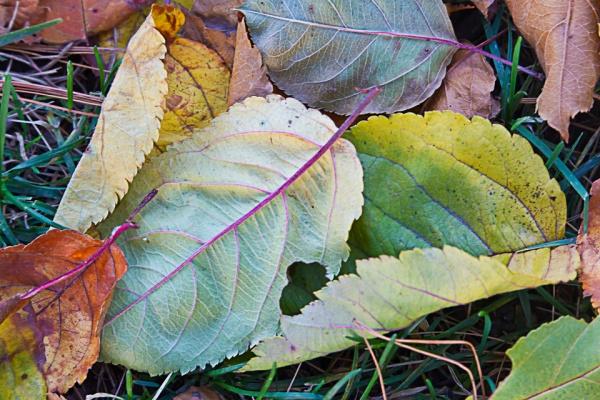 leaves-v1-2016_43g9786