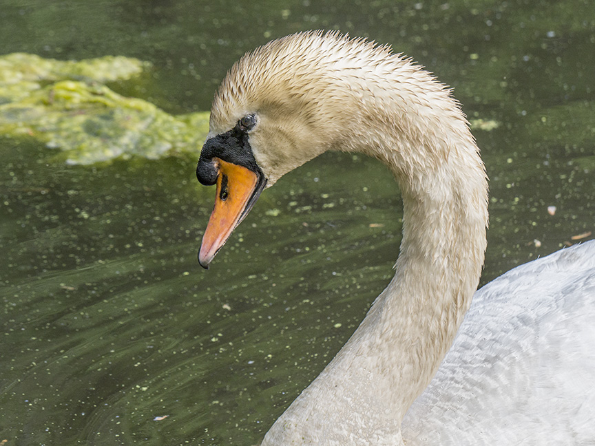 _mute-swan-portrait-1330281