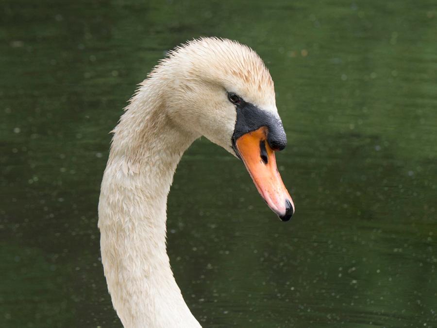 mute-swan-v3-mcfaul_1330314