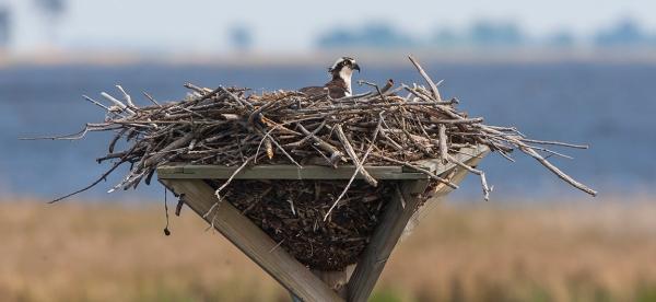 osprey-nest-bwr-v2_80i2185