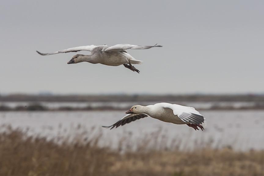 snoa-geese-v1-bwr_80i6643
