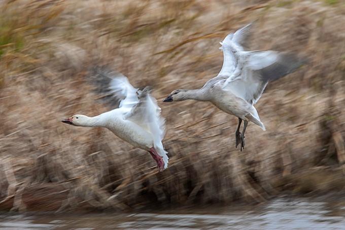 snow-geese-landing-v2-bwr_80i6651
