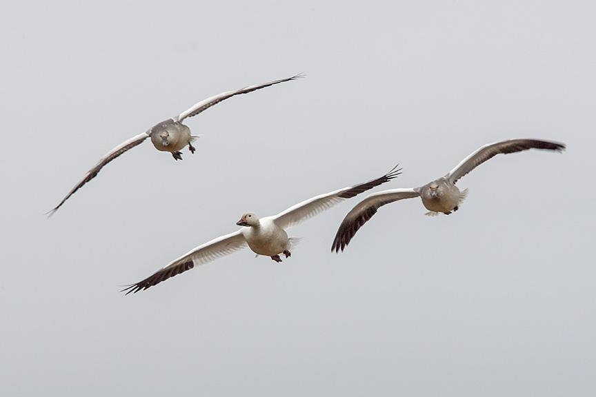 snow-geese-v2-bwr