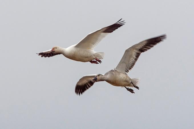 snow-geese-v2-bwr_80i6627