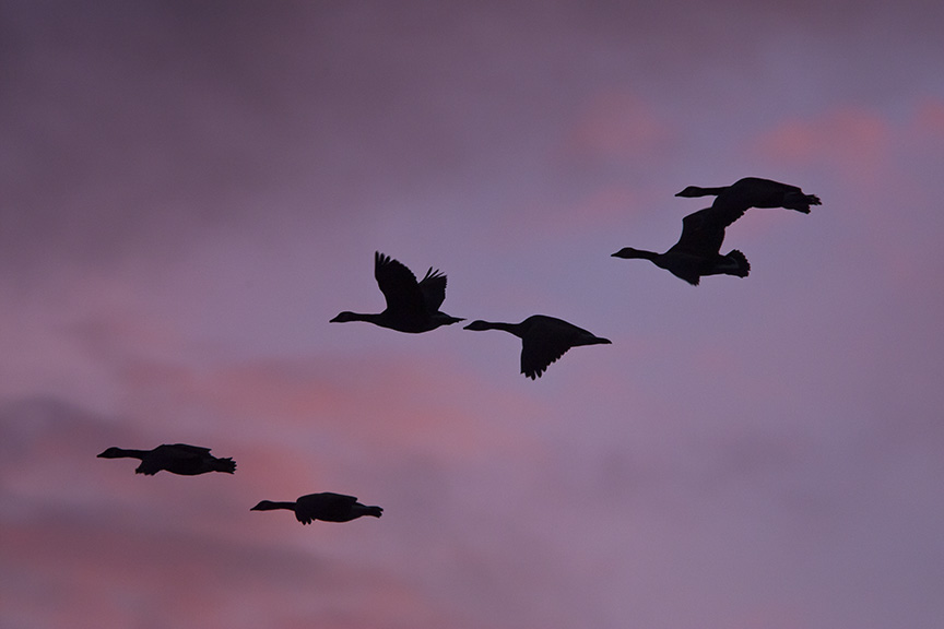 sunset-canada-geese-flyout-v1_80i7750