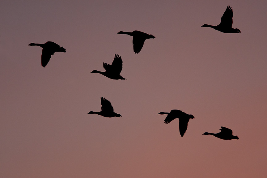 sunset-canada-geese-flyout_80i7748