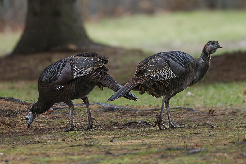 turkeys-rosmoor-v1_43g0954