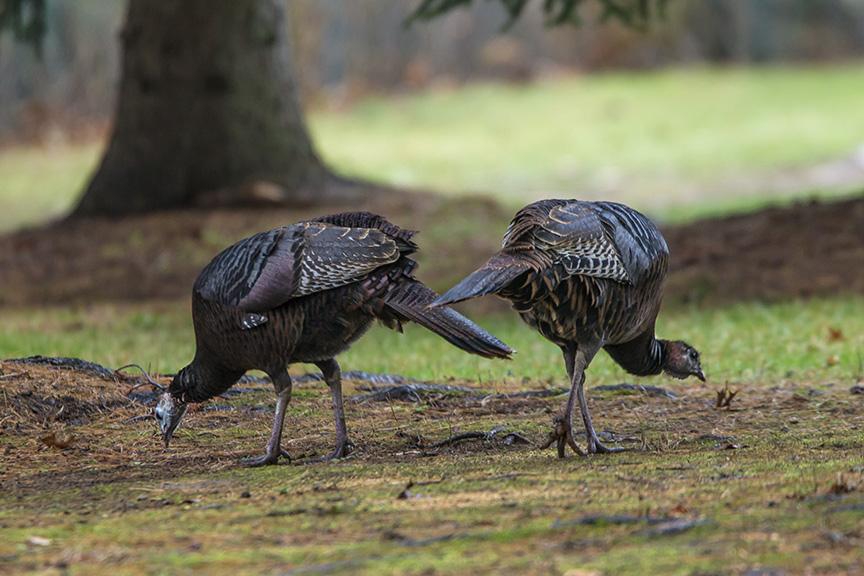 wild-turkeys-rosmoor-v1_43g0947