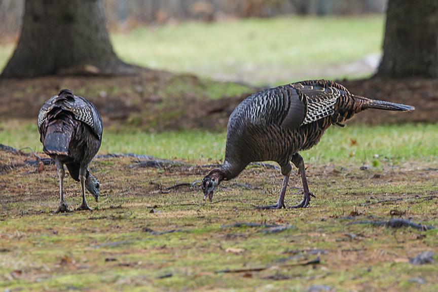 wild-turkeys-rosmoor-v2_43g0927