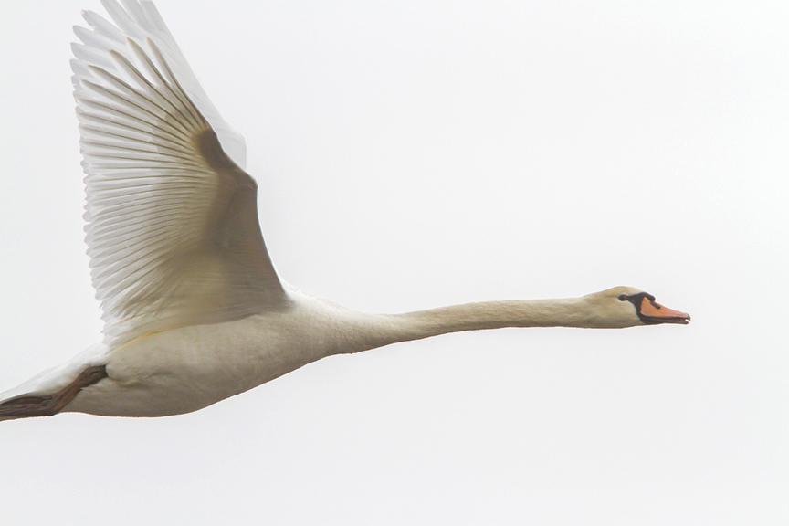 mute-swan-immat-brig-v1_mg_5682