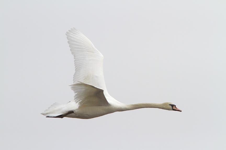 mute-swan-immat-brig-v2-_mg_5676