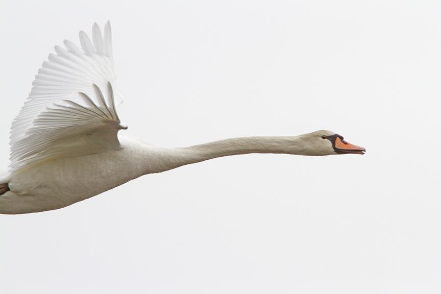mute-swan-immat-brig-v2_mg_5680