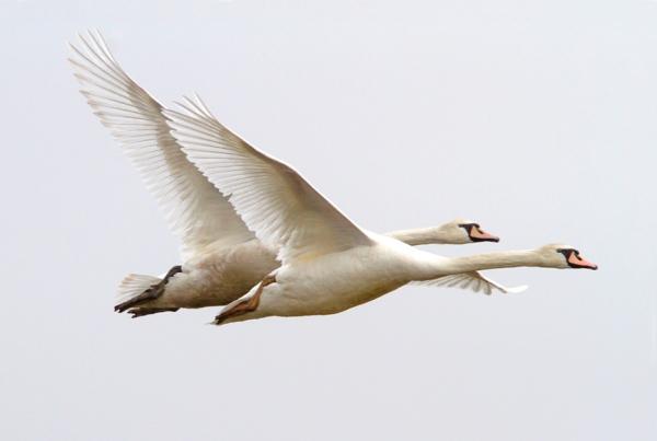 mute-swans-brig-v2_mg_5664