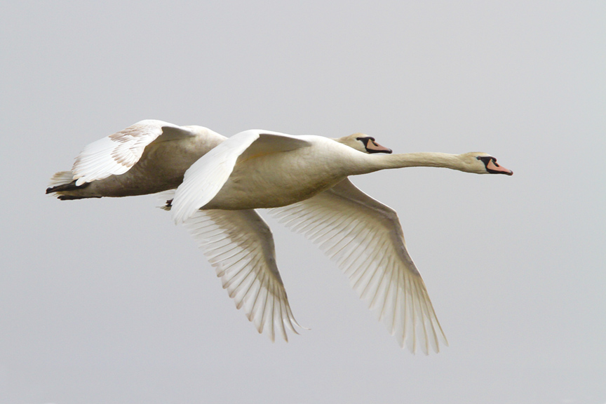 mute-swans-brig-v2_mg_5665