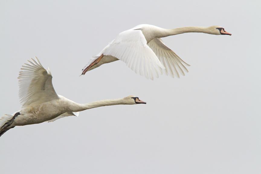mute-swans-brig-v2_mg_5671