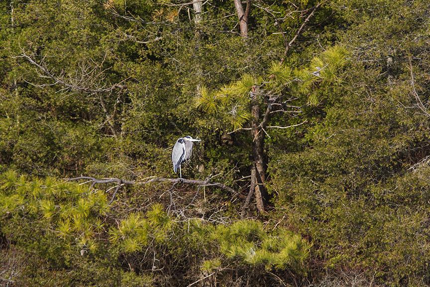 lonely-heron-tree-brig-v1_43g1779