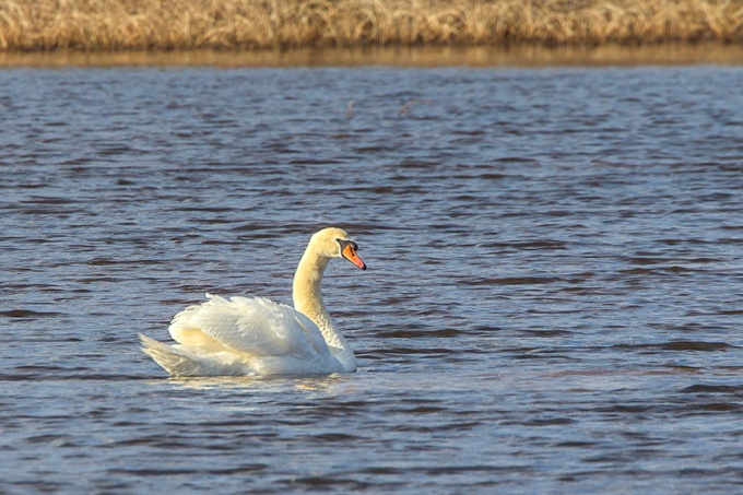 mute-swan-brig-32_43g2086