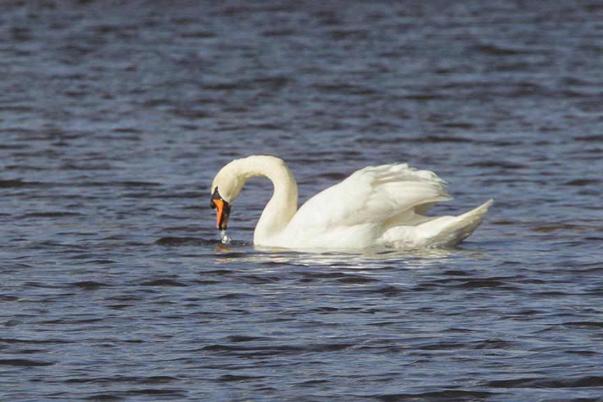 mute-swan-brig-v2_43g2134