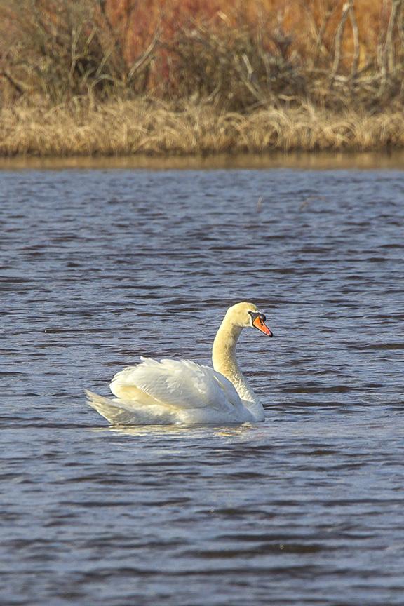 mute-swan-brig-v5_43g2086