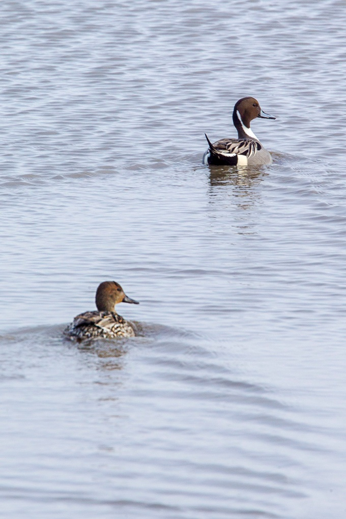 pintail-duck-pair-v2_43g1693