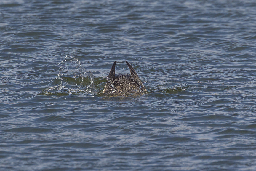 red-throated-loon_diving_wntr-plum-v1-pp43g8000