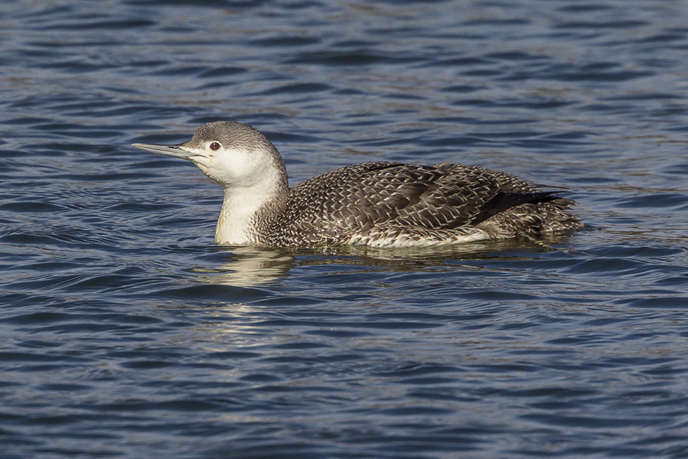 red-throated-loon_wntr-plum-v2_43g7984