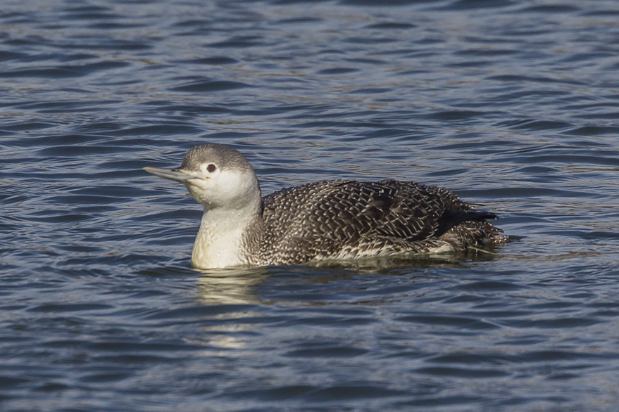red-throated-loon_wntr-plum-v2_43g7987
