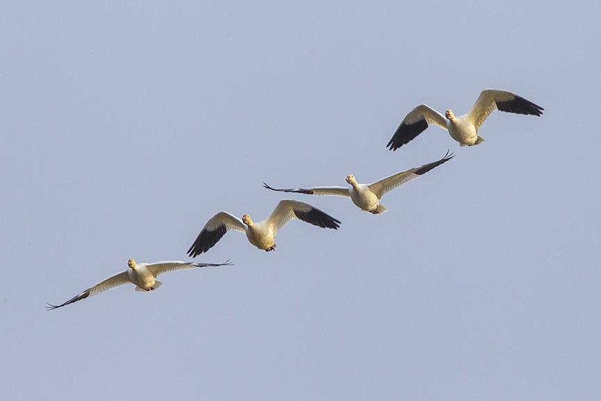 snow-geese-brig-fly-v1_43g1417