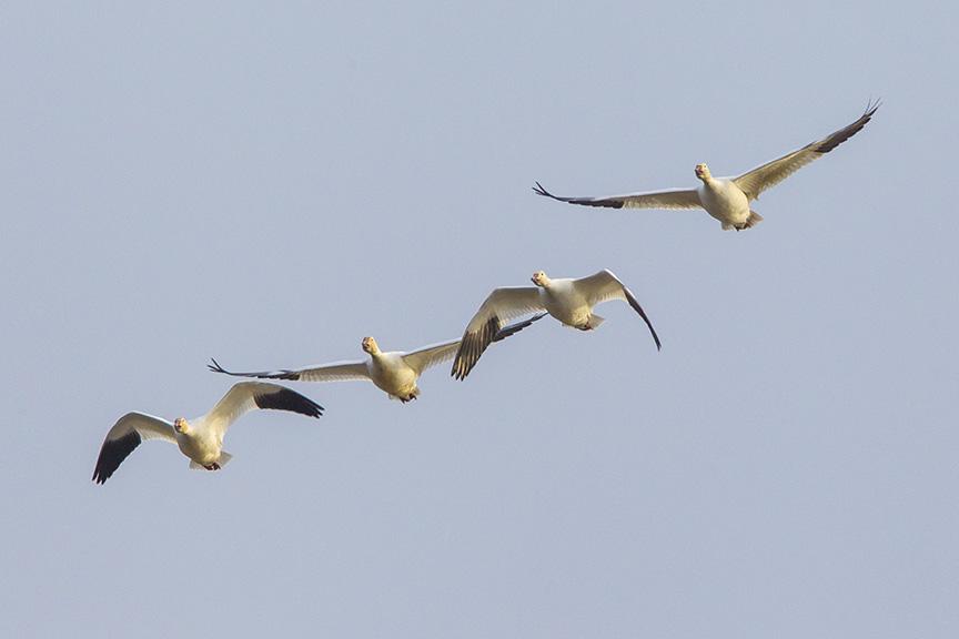 snow-geese-brig-fly-v1_43g1418