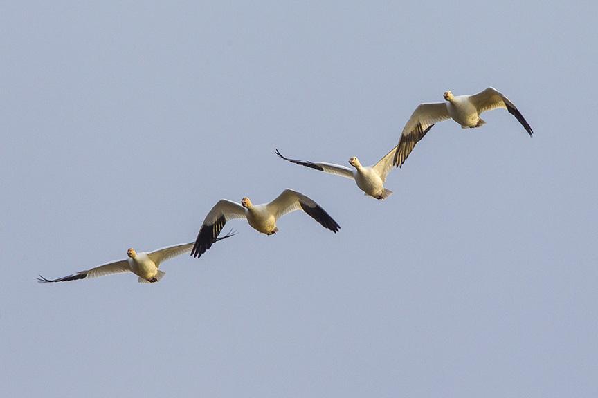 snow-geese-brig-fly-v1_43g1419